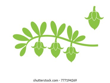 Jojoba plant. Isolated  jojoba on white background