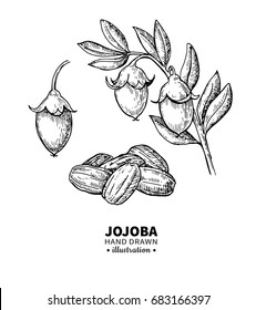 Jojoba vector drawing. Isolated vintage  illustration of nuts, branch and fruit. Organic essential oil engraved style sketch. Beauty and spa, cosmetic ingredient. Great for label, packaging design.