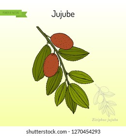 Jujube (Ziziphus jujuba), or red date, medicinal plant. Hand drawn botanical vector illustration