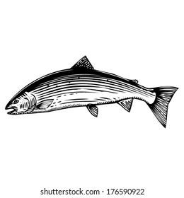 Jumping Atlantic Salmon