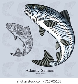 Jumping Atlantic Salmon. Vector illustration with refined details and optimized stroke that allows the image to be used in small sizes (in packaging design, decoration, educational graphics, etc.)