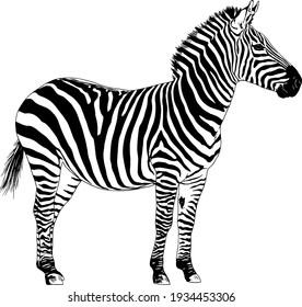 jumping striped African Zebra, hand-drawn