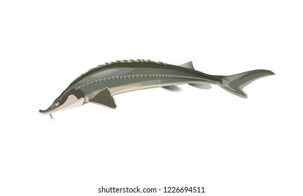 Jumping sturgeon fish. Vector illustration isolated on white background