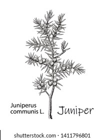 Juniper branch with berries. Hand drawn Juniper herbal illustration in sketch style. Juniper is a medical and food herbal ingredient. Isolated on white background.