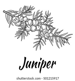 Juniper branch with berries. Hand drawn  illustration in sketch style. Isolated on white background.
