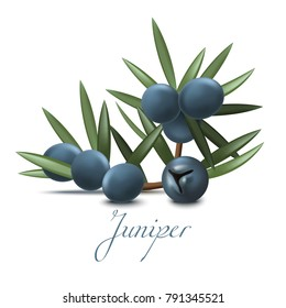 Juniper Branch with Berries. Realistic Elements for Labels of Cosmetic Skin Care Product Design. Vector Isolated Illustration