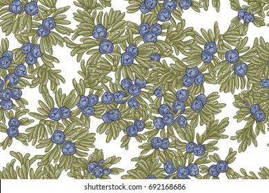 Juniper tree vector seamless pattern. Hand drawn illustration branch of Juniperus communis.
