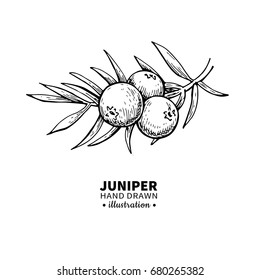 Juniper vector drawing. Isolated vintage  illustration of berry on branch. Organic essential oil engraved style sketch. Beauty and spa, cosmetic ingredient. Great for label, poster, packaging design.