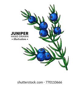 4b62ba640202a Juniper Botanical Illustration Images, Stock Photos & Vectors ...