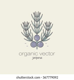 Juniper. Vector illustration of a plant used in cosmetics, medicine and cooking. Design for packaging, web, creation of goods and services. Modern style mono line.