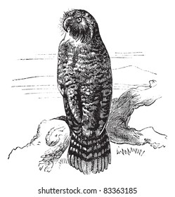 Kakapo or Strigops habroptila or Owl parrot, vintage engraving.  Old engraved illustration of Kakapo waiting on a branch.  Trousset encyclopedia (1886 - 1891).