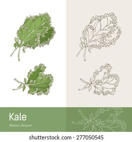 Kale cabbage botanical hand drawing, healthy eating concept