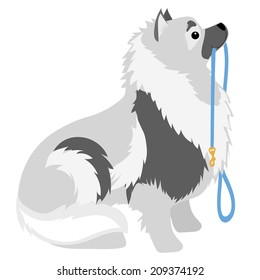 A Keeshond sitting with a leash in its mouth waiting to go for a walk