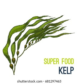 Kelp. Full color super food hand drawn sketch vector illustration.
