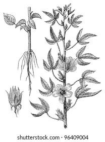 Kenaf (Hibiscus cannabinus) / vintage illustration from Meyers Konversations-Lexikon 1897