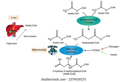 Ketone body synthesis or ketogenesis pathway. When human loss weight and diet food the mitochondria of liver cells  will produced Ketone bodies for energy
