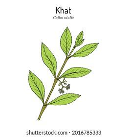 Khat or qat (Catha edulis), medicinal plant. Hand drawn botanical vector illustration