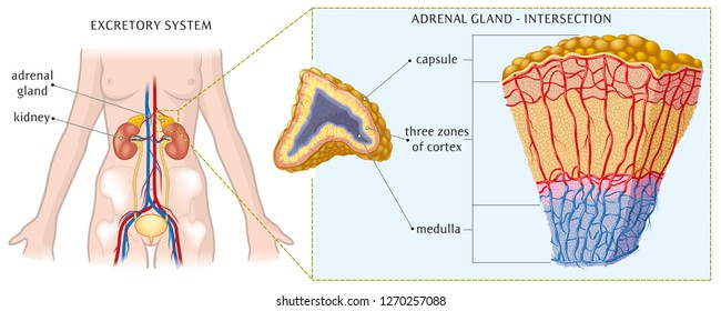 Kidney and adrenal gland - basic anatomy