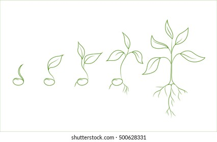 Kidney bean plant growth phases. Evolution from seed to sapling. Set of isolated outline vector drawings on white background. Agriculture and organic food concept illustration.