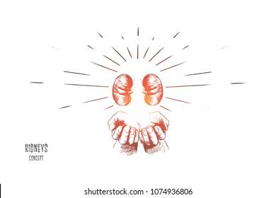 Kidneys concept. Hand drawn human kidneys anatomy in hands. Human organs kidney, anatomy icon isolated vector illustration.