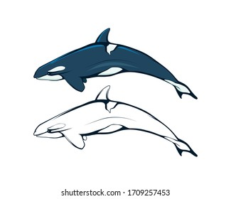Killer whale. An orca (or killer) whale. Marine mammal. Cetaceans. Toothed whale. Dolphin family. The largest among the cetaceans is a real predator chasing warm-blooded animals.