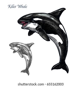 Killer whale sea animal isolated sketch. Orca or toothed whale symbol, marine predator leaping out of water with curved tail and open mouth. Dolphinarium and zoo themes, t-shirt print design