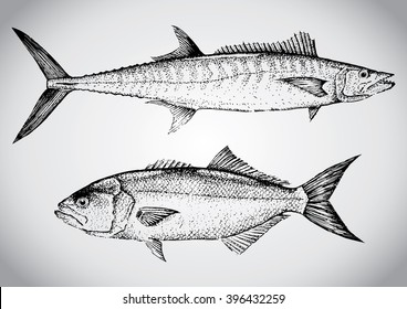 King mackerel and Bluefish. Vintage hand drawn illustration in vector