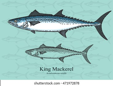 King Mackerel. Vector illustration with refined details and optimized stroke that allows the image to be used in small sizes (in packaging design, decoration, educational graphics, etc.)