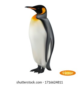 King penguin isolated on white background. Realistic Aptenodytes patagonicus. Vector illustration 3D. Beautiful natural Antarctica bird. Macro icon penguin. Design for paper, banner, t-shirt, logo.