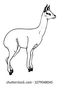 Klipspringer line sketch. Vector illustration of female antelope without horns