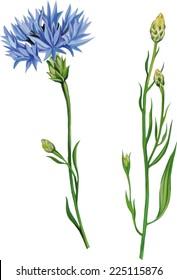 Knapweed flower on white background. vector illustration of blue little flwoers