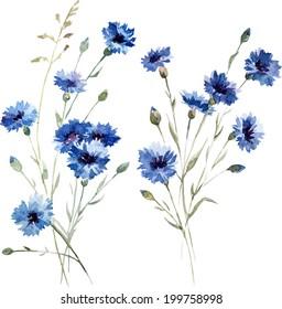 knapweed, watercolor, drawing
