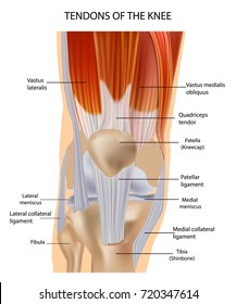 Knee Anatomy Muscles And Tendons Muscle Structure. Tendons at the Front of the Knee