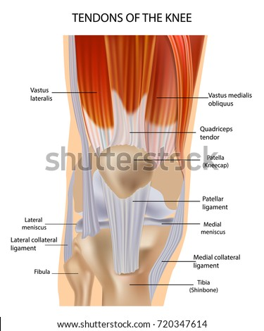 Knee Anatomy Muscles Tendons Muscle Structure Stock Vector Royalty