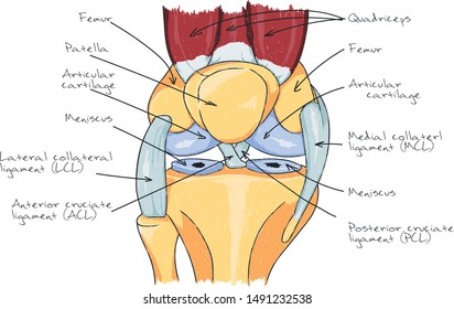 Knee anatomy scheme illustration human