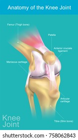 The knee joint joins the thigh with the leg and consists of two articulations: one between the femur and tibia and one between the femur and patella. It is the largest joint in the human body.