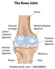 knee femur diagram knee joint diagram images  stock photos   vectors shutterstock  knee joint diagram images  stock photos