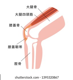 Knee joint section illustration (japanese). translation: femur,patella,tibia,patellar tendon,quadriceps muscle.