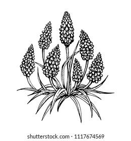 Kniphofia flowers hand drawn ink botanical sketch vector illustration on white background