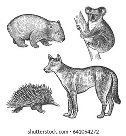 Koala bear, Wombat, Echidna, Dingo Dog hand drawing set. Animals of Australia series. Vintage engraving style. Vector art illustration. Black and white. The object of a naturalistic sketch.