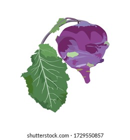 Kohlrabi cabbage with green leaf, vector illustration isolated on white background. Healthy organic vegetable for menu, recipe, etc.