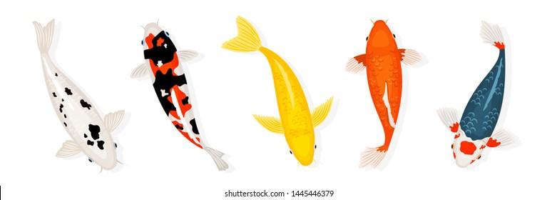 Koi carp fishes vector illustration. Japanese koi fish isolated on white background, chinese goldfish image