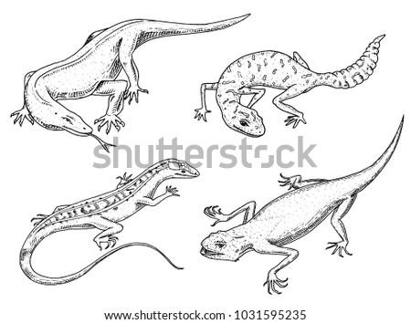Komodo Dragon Monitor American Sand Lizard Stock Vector Royalty