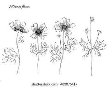 Kosmos flower, kosmeya hand drawn doodle ink sketch, botanical illustration, wild flower astra, floral design for greeting card, wedding invitation, element pattern, cosmetic packaging, wedding invite