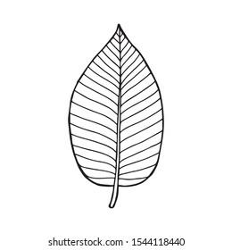Kratom (Mitragyna speciosa) leaf . Hand drawn vector illustration.