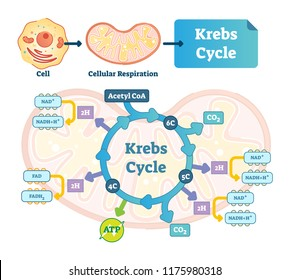 Krebs cycle vector illustration. Citric tricarboxylic acid labeled scheme. Educational diagram with cell, cellular respiration and ATP. Human power molecular metabolism.