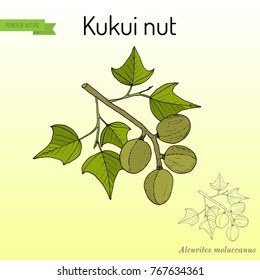 Kukui nut (Aleurites moluccanus), or candlenut, indian walnut, medicinal plant. Hand drawn botanical vector illustration
