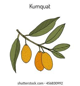 Kumquat (citrus japonica) branch. Hand drawn botanical vector illustration