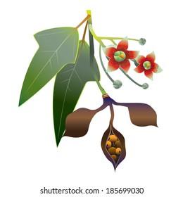 Kurrajong bottle tree (Brachychiton populneus) vector