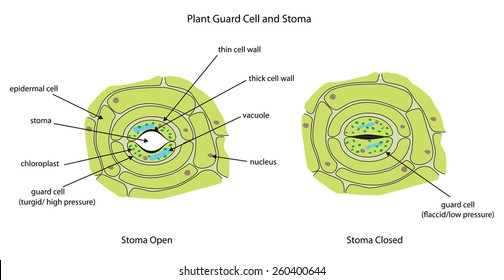 Labeled diagram showing plant stoma open and closed.